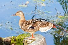 Free Female Mallard Duck On The Lake Stock Photography - 18415182