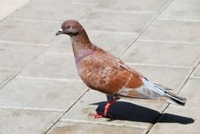 Free Brown Pigeon Stock Photo - 18415290