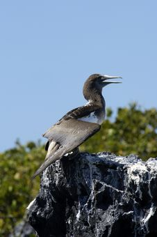 Free Galapagos Gannet Royalty Free Stock Photo - 18415305
