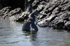 Free Galapagos Penguin Stock Photo - 18415350