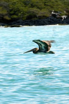 Free Galapagos Pelican Royalty Free Stock Images - 18415379