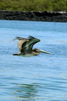 Free Galapagos Pelican Royalty Free Stock Photo - 18415455