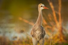 Free Young Sandhill Crane Stock Image - 18416081