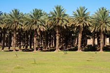 Free Date Palm Farm Royalty Free Stock Image - 18416896
