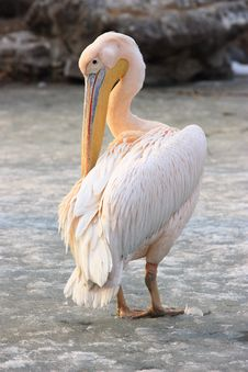 Free Pelican Royalty Free Stock Image - 18416936