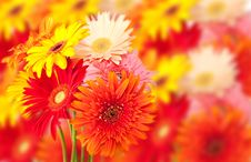 Free Gerbera Daisy Bunch Royalty Free Stock Photography - 18417057