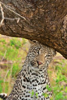 Free Leopard Scent Marking Royalty Free Stock Photography - 18417427