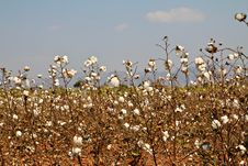 Free Cotton Farms Stock Photo - 18417460