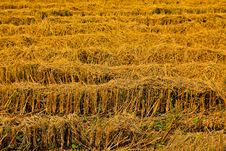Free Harvest Rice Farms. Royalty Free Stock Images - 18417489