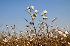 Free Cotton Farms Royalty Free Stock Photos - 18417558