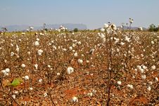 Free Cotton Farms Stock Image - 18417591