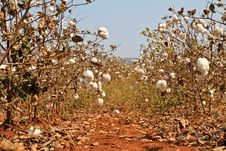 Cotton Farms Stock Photo