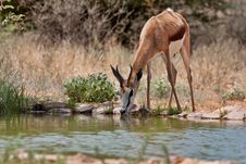 Free Springbuck Stock Photography - 18417782