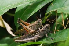 Free Grasshoppers Couple Stock Photos - 18418763