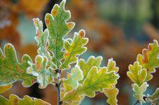 Free Frozen Oak Autumn Leaves On Branch Royalty Free Stock Photos - 18419508