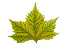 Maple Leaf With Hand Made Clipping Path Stock Photo