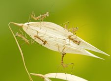 Free Macro Of Little Praying Mantises Stock Image - 18422261