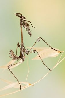 Free Empusa Pennata Insect Royalty Free Stock Photography - 18422347