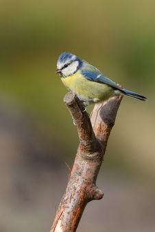 Free Blue Tit Royalty Free Stock Photo - 18422455