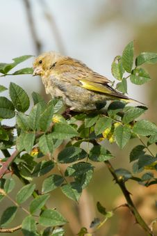 Free Greenfinch Stock Photo - 18422480