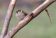 Free Tree Sparrow Royalty Free Stock Photos - 18422498