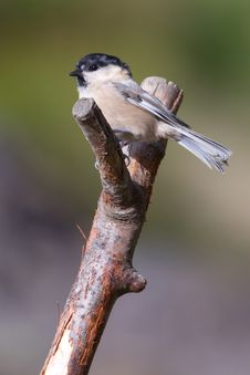 Free Willow Tit Stock Image - 18422541