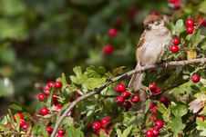 Free Tree Sparrow Stock Images - 18422564