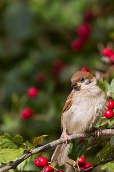 Free Tree Sparrow Royalty Free Stock Image - 18422576