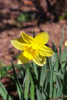 Free Yellow Narcissus Royalty Free Stock Photo - 18423575