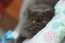Free Persian Cat Royalty Free Stock Image - 18423656