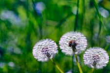 Dandelion Flowers On A Background Of Green Grass Stock Images