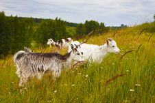 Free Little Goats At The Pasture Stock Photography - 18424782