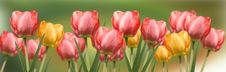 Free Red And Yellow Tulips Panorama Stock Image - 18424881