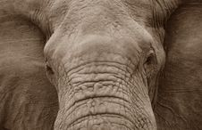 Free Elephant Close Up Royalty Free Stock Images - 18424889
