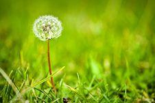 Free Dandelion In A Green Meadow Stock Photo - 18426610
