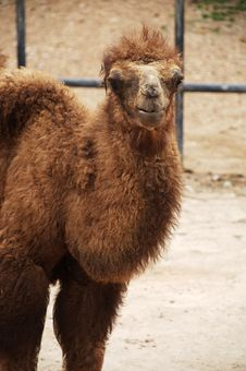 Free Baby Bactrian Camel Stock Photography - 18426702