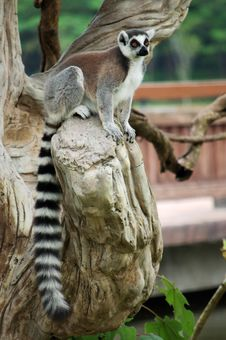 Free The Ring-tailed Lemur Royalty Free Stock Images - 18426929