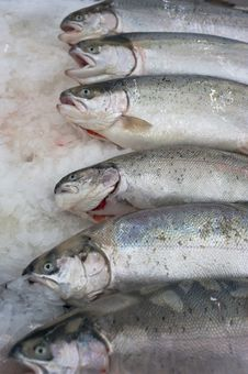 Free Norwegian Trout Stock Photo - 18427430