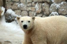 Free Polar Bear Stock Photo - 18427440