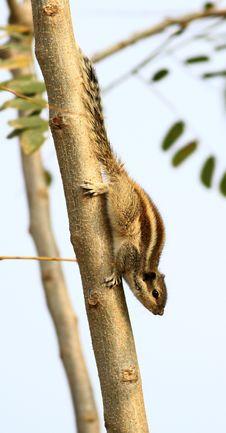 Free Alert Squirrel Royalty Free Stock Image - 18427486