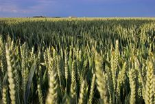 Free Wheat Fields In Summer Royalty Free Stock Image - 18427626