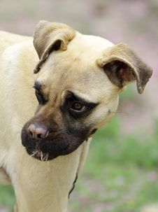 Bull-mastiff Dog Puppy Stock Photography