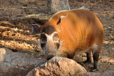 Free The Red River Hog Royalty Free Stock Images - 18427659