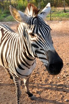 Free The Young Zebra Stock Images - 18427724