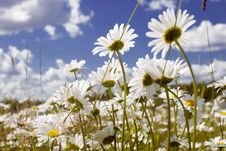 Free Daisy Field Stock Images - 18427874