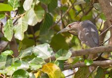 Free A Juvenile Black-crowned Night Heron In The Bush Royalty Free Stock Photo - 18428055