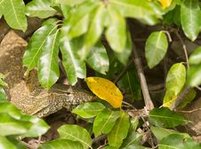 Nile Monitor Under Cover Stock Photography