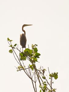 Free The Purple Heron Royalty Free Stock Photos - 18428148