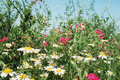Free Summer Flowers Meadow Stock Photography - 18432592