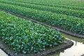 Free Chinese Kale Vegetable Royalty Free Stock Photos - 18433708